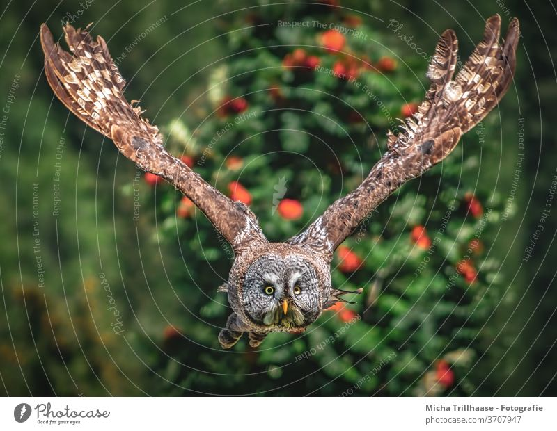 Flying bearded owl Great grey owl strix nebulosa Strix Owls birds Bird of prey Wild bird flight Head Face peer Beak Grand piano feathers plumage Wing span