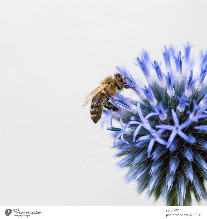blue ball with bee flowers Bee Honey bee globe thistle Blue Nature Macro (Extreme close-up) bleed Summer Nectar Insect Plant Garden Fragrance Blossoming