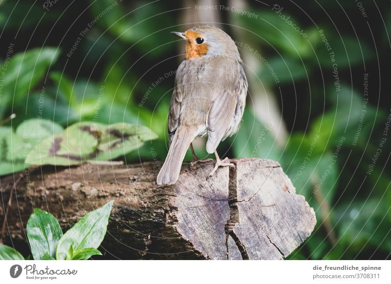 Robin in the Azores Robin redbreast Finch birds Small tree Animal Nature Exterior shot Colour photo Sit Cute Beak Feather Poultry Animal portrait Wild Brown
