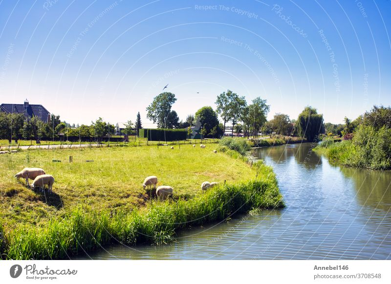 Beautiful green summer landscape in the Netherlands with sheep grazing and a calm stream, netherlands holland countryside pasture field agriculture rural meadow