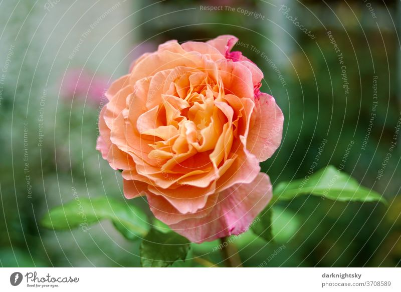 Splendid orange-red roses Flowering in a garden in summertime Love Beauty & Beauty lovely Close-up Exterior shot yellow pink Pink breeding Garden Deserted