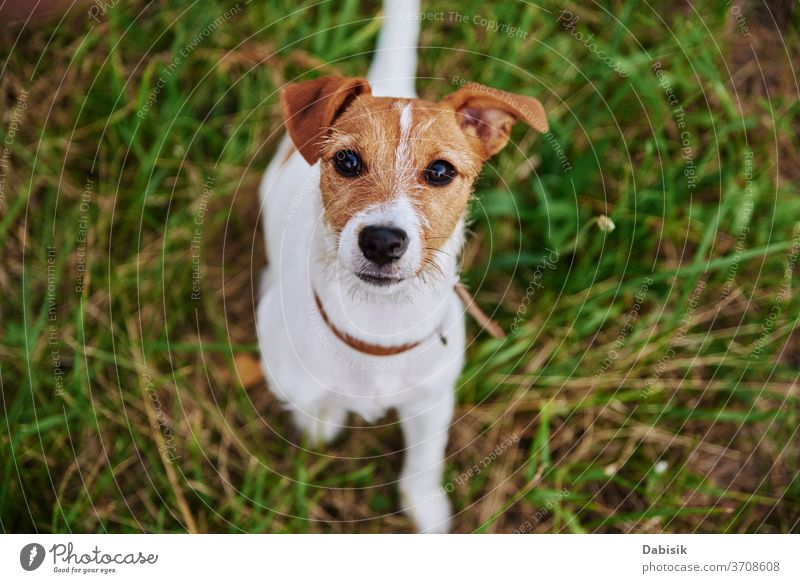 Dog on the grass in summer day. Jack russel terrier puppy looks at camera dog portrait cute happy pet adorable brown face breed domestic park play healthy