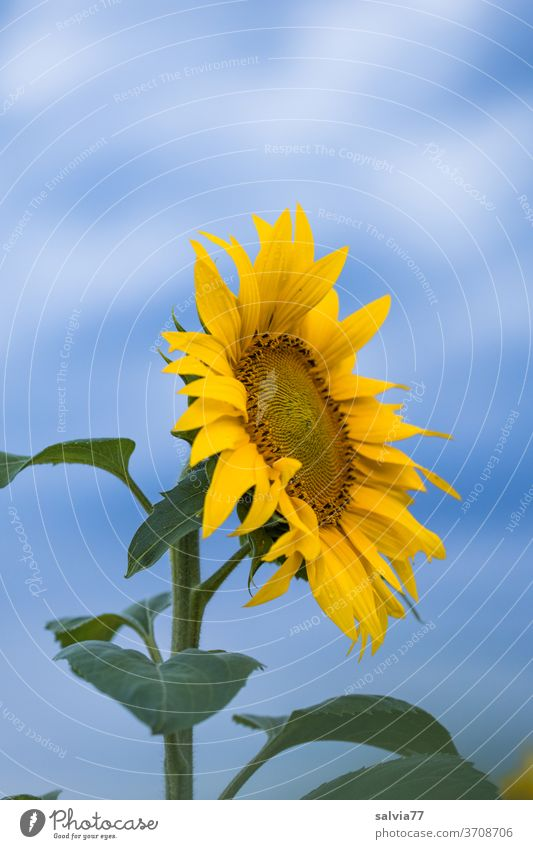 Summer goodbye Sunflower Blossom Flower Plant Blossom leave Blossoming Close-up pretty sunny naturally Garden Exterior shot Yellow Blue Colour photo Nature
