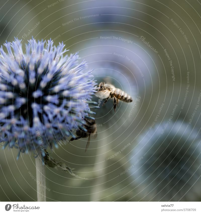 dynamic | from flower to flower Honey bee globe thistle Floating Nature Bee bleed flowers Plant Insect Diligent Garden Fragrance Summer Sprinkle
