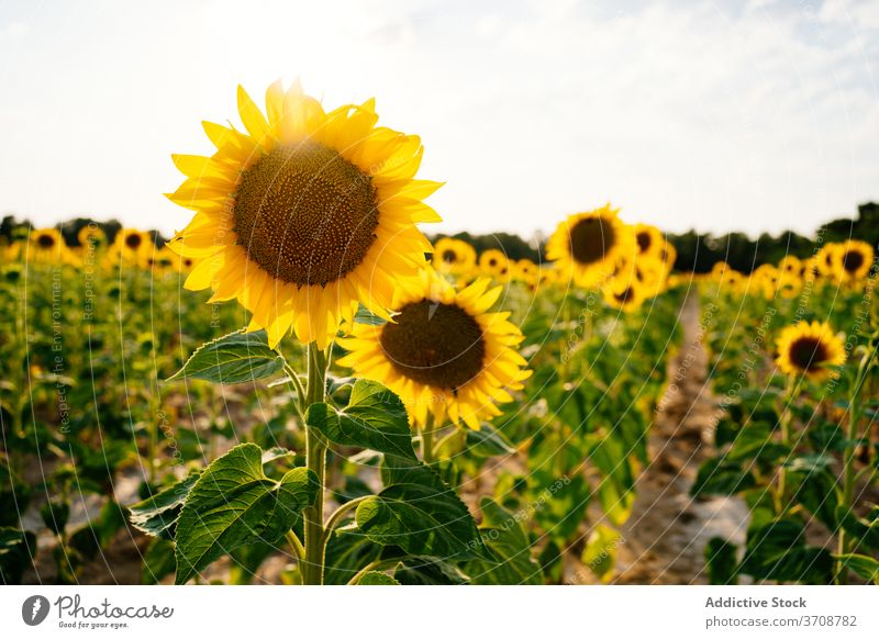 Blooming sunflowers in summer field bloom yellow countryside landscape nature agriculture environment picturesque vast rural season scenic plant farm flora