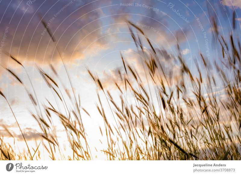 Grain blows in the wind at sunset Plant Wheatfield Blow Grass Wind Blade of grass Summer Nature Summery Summer's day Agriculture Harvest Crops Cornfield