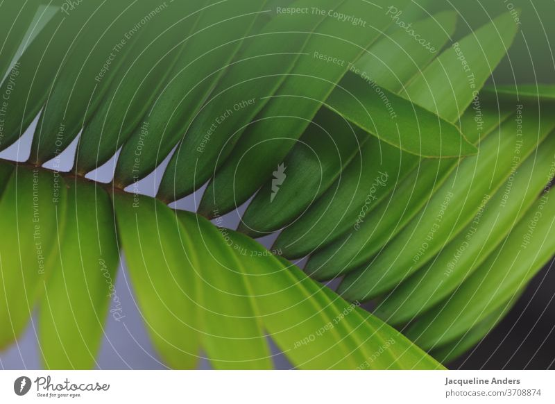 Close up of a palm leaf flaked Plant green Nature Close-up Detail Exterior shot Foliage plant Palm tree Colour photo Palm frond Pattern Structures and shapes