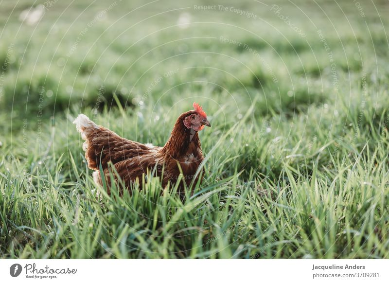 Chicken on the meadow in free range Grass hen natural Colour photo Comb Species-appropriate Day chicken Beak Poultry Organic farming Feather Pet Free-roaming