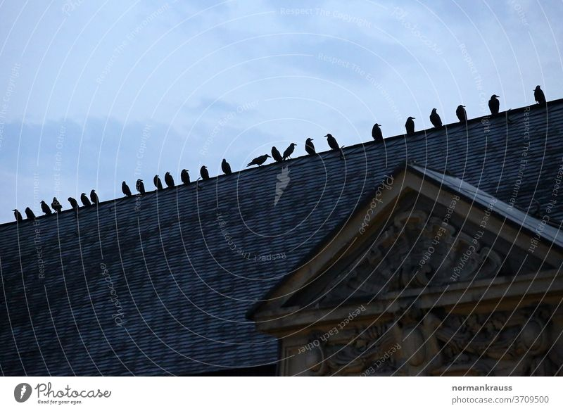 Crows on a roof crow raben birds Town Raven birds Twilight House (Residential Structure) Silhouette Animal Contrast Roof Germany Evening