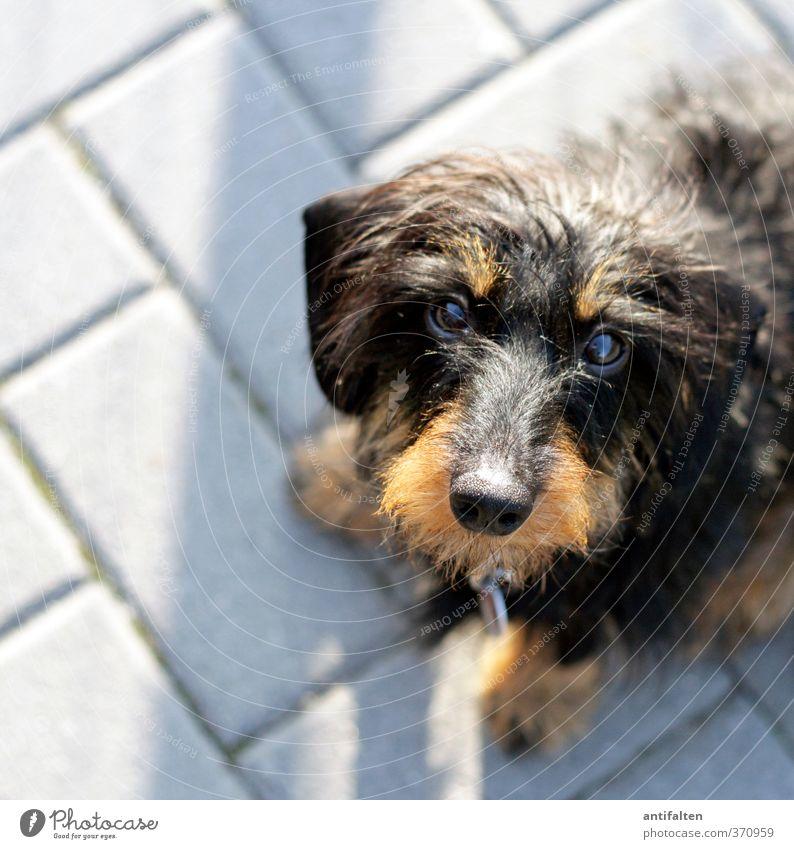 man's best friend Animal Pet Dog Animal face Pelt Paw Dachshund 1 Stone Brick Observe Crouch Friendliness Cute Brown Gray Black Happiness Trust Loyal Sympathy