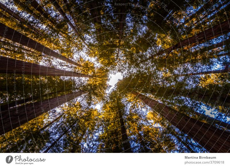 Looking up. Tree tops in the Redwood National and State Park, California tree forest california giant sequoia redwoods tourism national park landscape plant