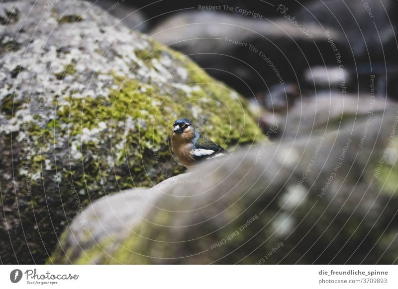 Chaffinch on the Azores II Azores chaffinch Finch birds Animal animal portrait Cute Small Colour photo Nature Exterior shot Animal portrait Close-up tree