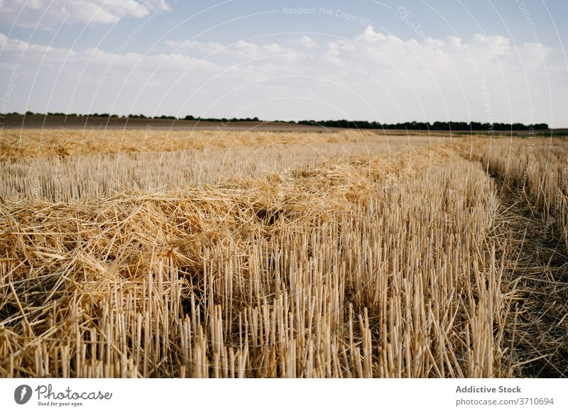Field with harvested crop in sunlight field agriculture agronomy gold grass nature countryside blue sky landscape dry organic cut scenic straw farm plant