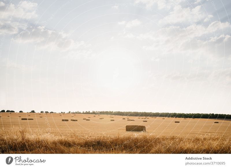Golden field with hat stacks in sunlight countryside hay roll landscape golden rural nature agriculture farm harvest farmland summer blue sky season straw