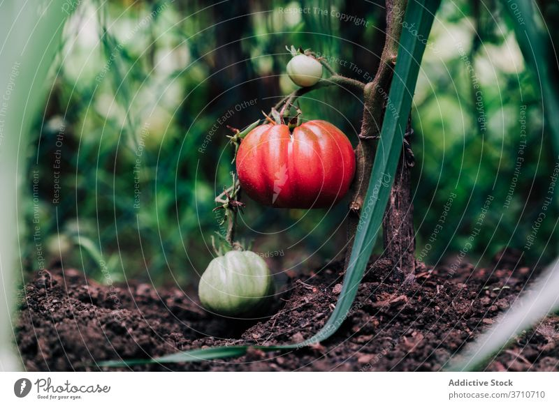 Red ripe tomatoes on branch in garden harvest red grow vegetable organic natural plant food cultivate growth season summer horticulture vegetate plantation
