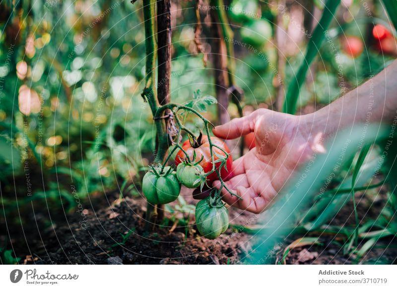 Gardener harvesting organic tomatoes in summer garden pick collect natural gardener farmer hand red ripe grow vegetable plant food cultivate season horticulture