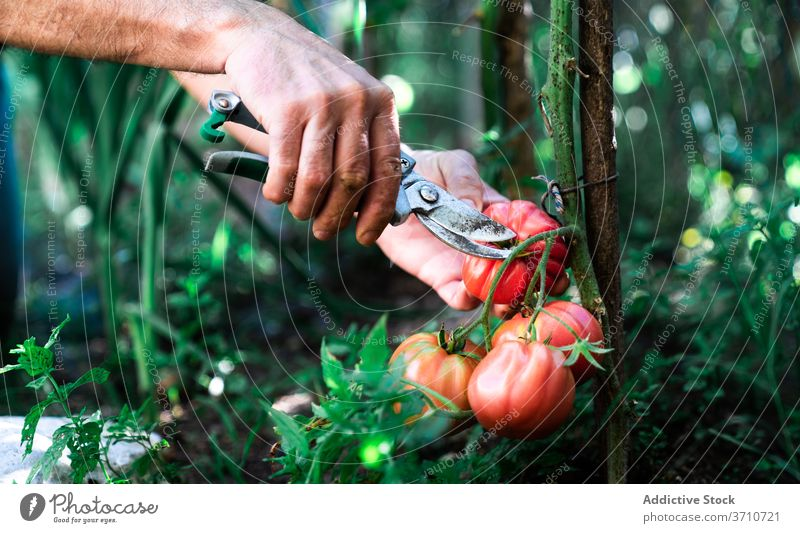 Gardener harvesting tomatoes in garden pick collect scissors tool gardener farmer cut red ripe grow vegetable organic natural plant food cultivate season summer
