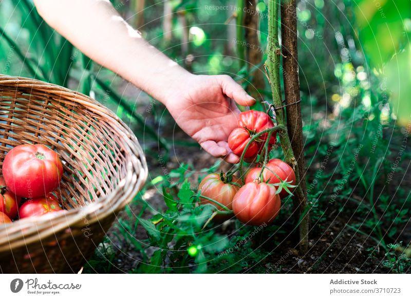 Gardener harvesting organic tomatoes in summer garden pick collect natural gardener farmer hand basket red ripe grow vegetable plant food cultivate season