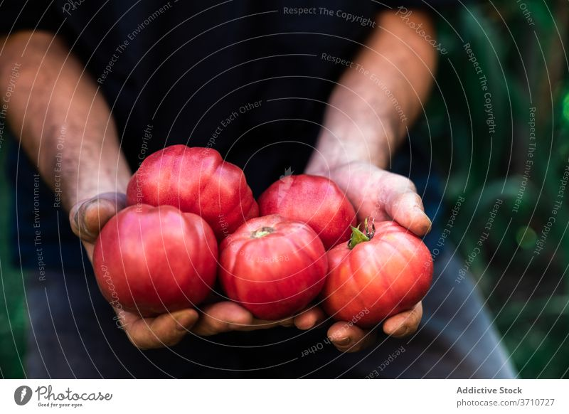 Man with freshly harvested tomatoes in garden gardener man red ripe vegetable organic natural farmer carry show demonstrate grow food cultivate season male