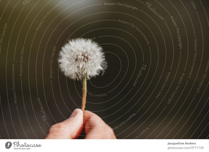 Blowball in the hand dandelion lowen tooth Plant Nature flowers Close-up Sámen Detail Exterior shot Wild plant White green Wind Flying Easy Summer Air