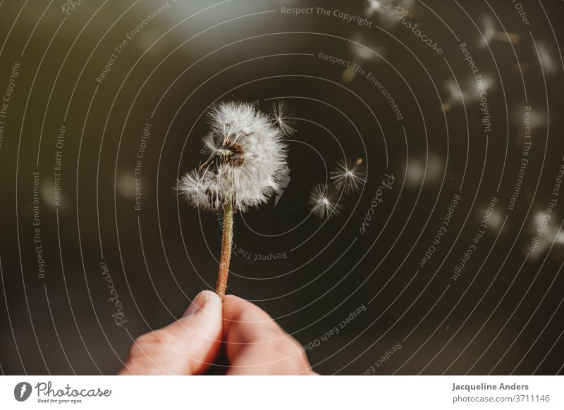 Seeds of the dandelion fly through the air lowen tooth Plant Nature flowers Close-up Sámen Detail Exterior shot Wild plant White green Wind Flying Easy Summer