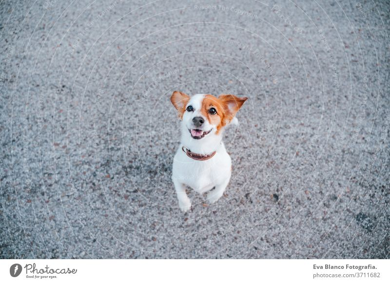 portrait of cute jack russell terrier dog in the street. Pets outdoors and lifestyle nobody urban city beautiful young puppy funny pet sitting curiosity one