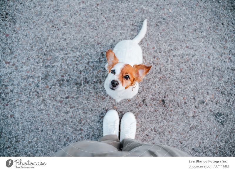 top view of cute jack russell dog in the street. standing close to owner feet. Pets outdoors and lifestyle woman portrait urban city beautiful young puppy funny
