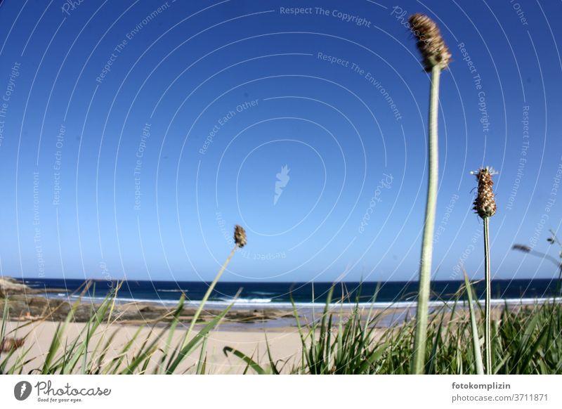 Dune grass in the foreground with view of beach and sea grasslands Grass Marram grass Blade of grass Beach Beach dune Environment Nature Exterior shot Coast