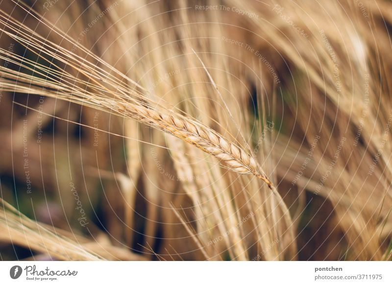 Ears of grain in the barley field. Agriculture Grain spike Field Summer Wheat Growth Ear of corn Plant Agricultural crop Nature Cornfield Nutrition Grain field