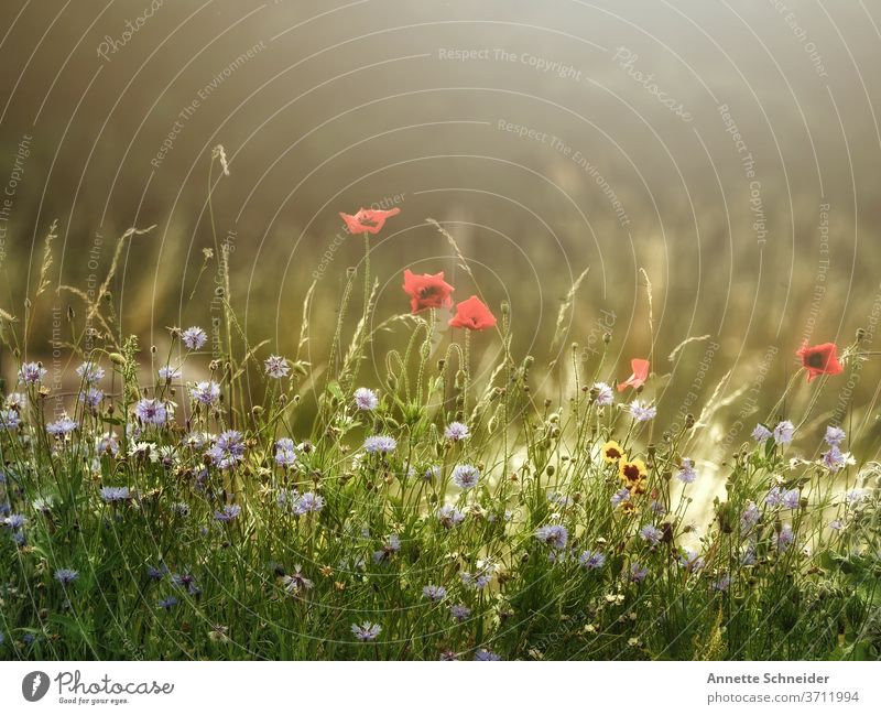 flower meadow Flower meadow flowers Meadow Summer green Nature Plant Colour photo Grass Blossoming Meadow flower Environment Summery Red Field Poppy Sun
