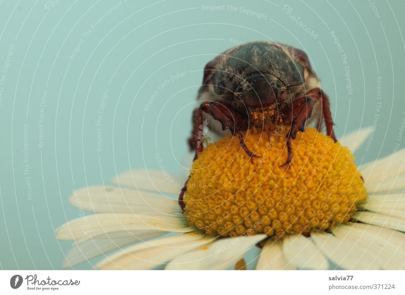 flower lover Plant Animal Spring Summer Blossom Garden Wild animal Beetle 1 Nature Senses Environment May bug Insect Flower Marguerite Pollen To enjoy Yellow