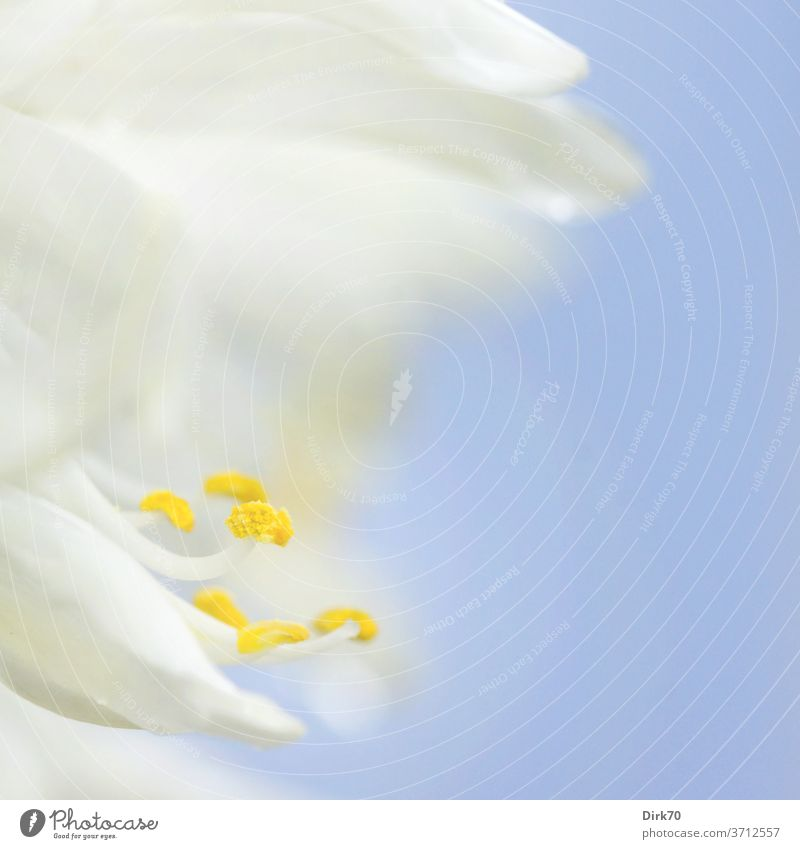 Detail of a white blossom bleed Blossom leave filament Stamen pollen Pollen White Blue Neutral Background Delicate Bright wax Blossoming Growth Beauty & Beauty