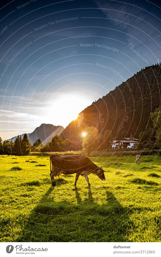 Cow in the pasture at sunset chill Sunset Willow tree Back-light Meadow Animal Moody atmospheric Nature Farm animal Cattle Agriculture Grass Organic farming