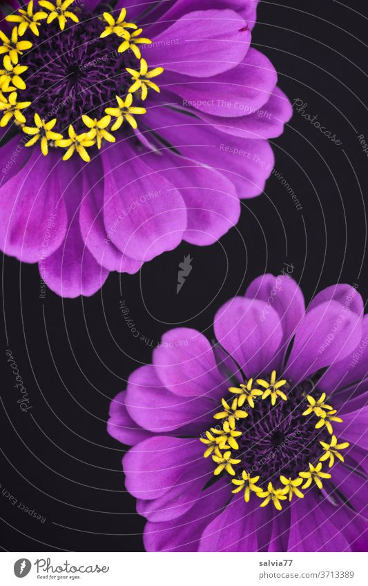 purple flowers with yellow stars bleed zinnia decoration Plant Nature Violet Summer Blossoming Isolated Image Deserted Colour photo Detail
