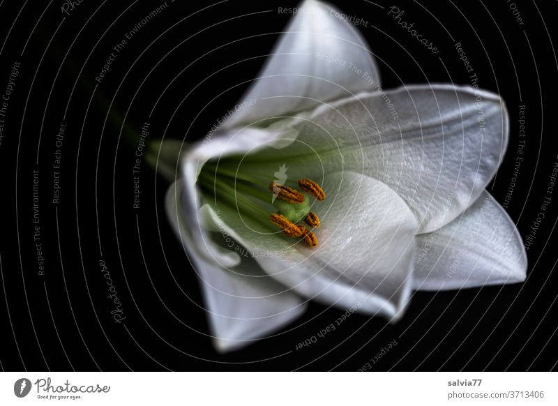 white lily against a black background flowers bleed Macro (Extreme close-up) Plant Lily White Nature Blossom leave Pistil already Blossoming Copy Space left