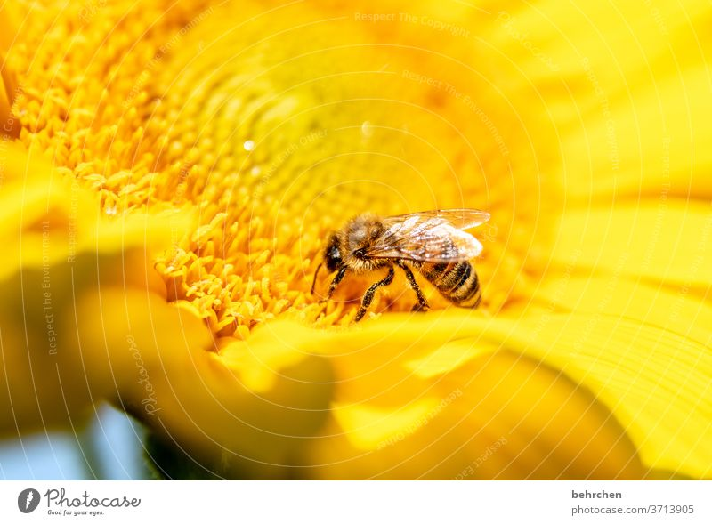 rain silly Nectar Honey Pollen Animal Sunflower Close-up Meadow Grand piano Flying Bee Bumble bee Garden Landscape already Blossom leave Environment Warmth