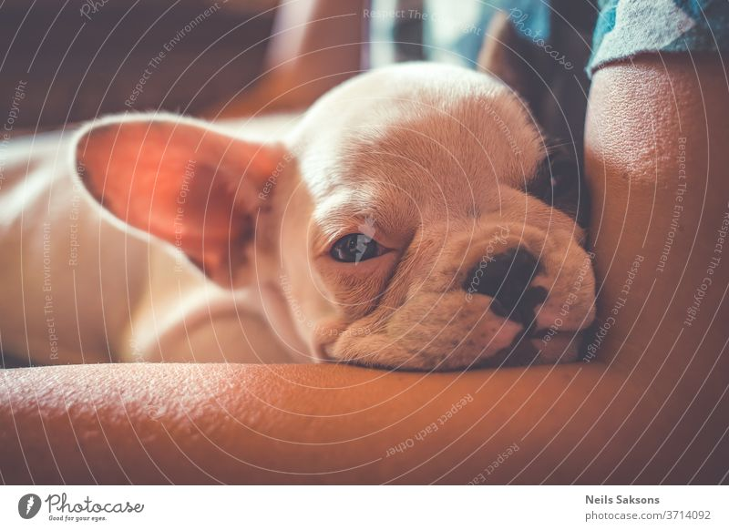 Cute french bulldog puppy relaxing on masters bosom animal pet cute canine white portrait breed young mammal small domestic adorable funny doggy baby ears