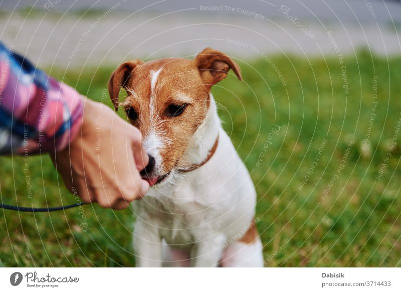 Owner feed his dog outside. Jack Russel terrier eat food from owner hand pet play portrait puppy cute happy adorable brown face breed domestic park doggy animal