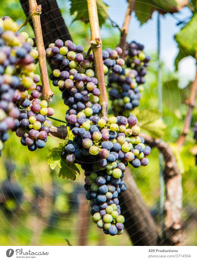 Blue and green grapes of a vineyard Wine Wine growing Winery Winegrower Vineyard Summer Plant Bunch of grapes Grape harvest Vine leaf Sunlight Red wine