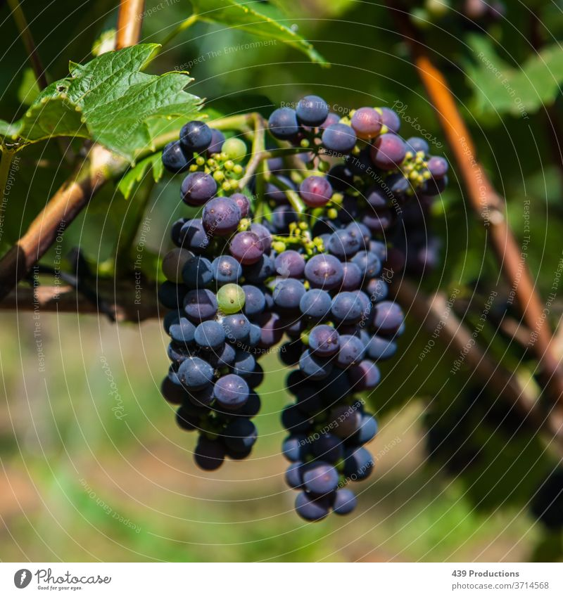 Blue grapes of a vineyard Wine Wine growing Winery Winegrower Vine Vineyard blue Grapes grapes  still life Grape harvest Plant Bunch of grapes
