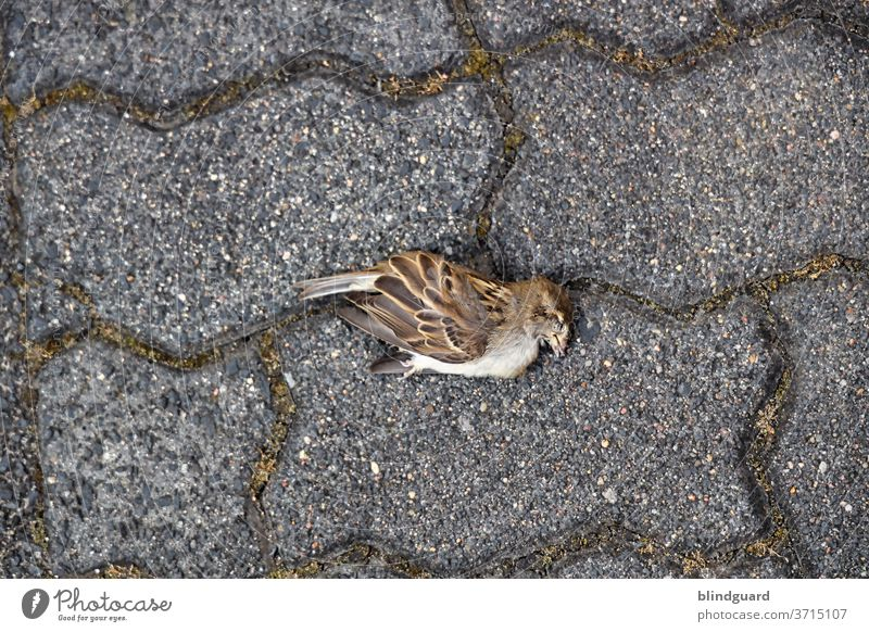 A hot, dry summer claims its victims. Dead sparrow on composite stone pavement with mossy joints. birds Stone Animal Exterior shot Colour photo Deserted