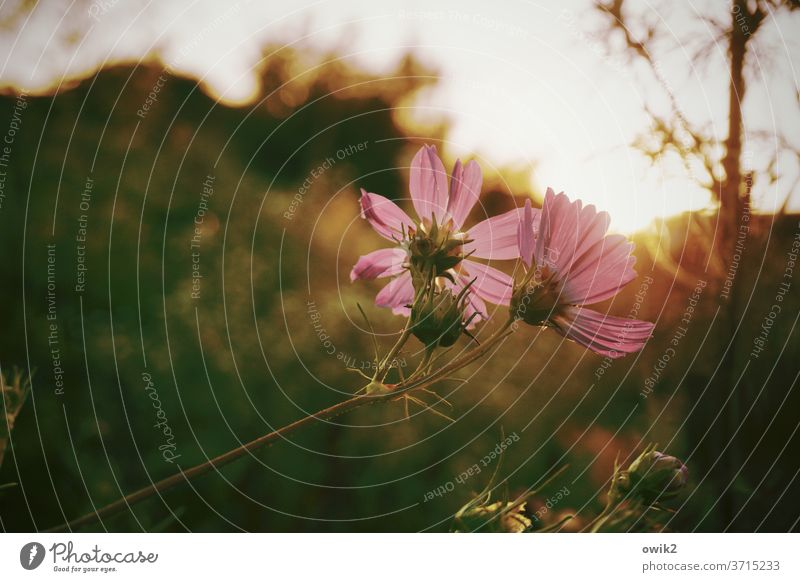 evening paper Environment Nature Plant bleed Meadow Garden Cosmos Idyll Blade of grass Colour photo Exterior shot Long shot Evening Deserted Detail Shadow