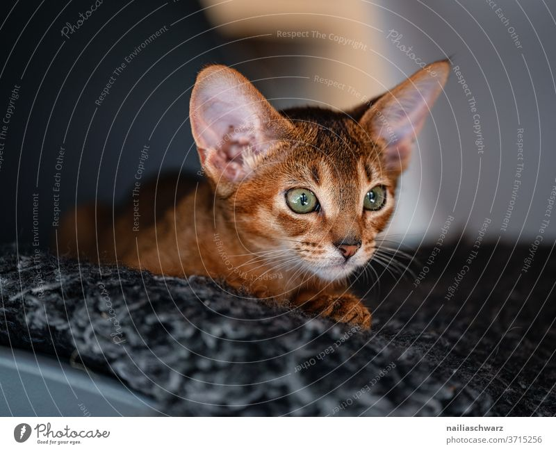 Cat lies on the carpet Abyssinian cats natural Idyll Happiness Interest Contentment Interior shot Elegant Love of animals Pet Lifestyle Animal face Baby animal