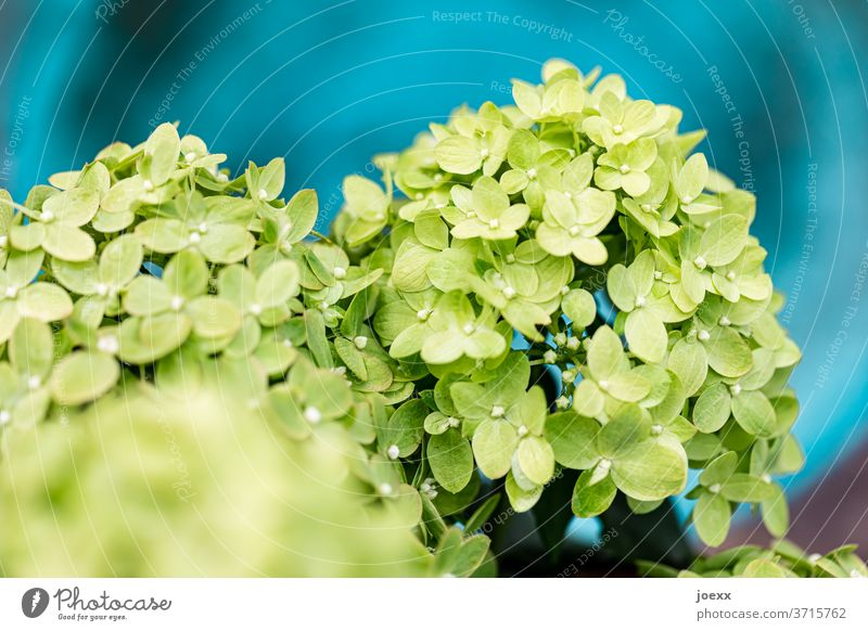 Close-up of green panicle hydrangea against a blue background Hydrangea blossom Plant bleed Blossoming Exterior shot Colour photo flowers Detail Garden