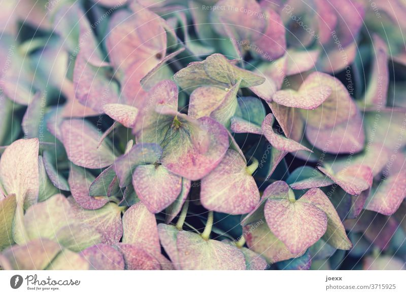 Close-up of pink yellow blue hydrangea flowers Hydrangea blossom Plant bleed Blossoming Colour photo Detail Garden Shallow depth of field Blue