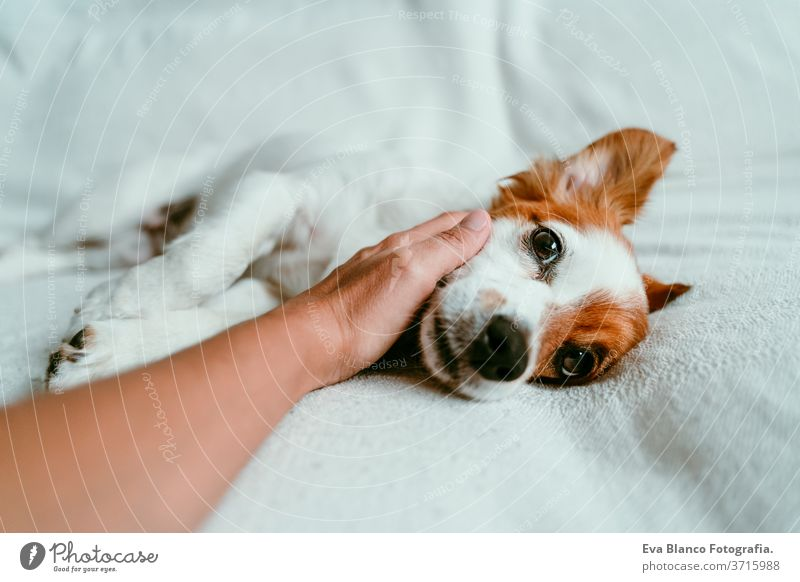 woman hand touching a cute relaxed jack russell dog lying on sofa, resting and relaxing. Pets indoors bed home sleeping tired lying back portrait adorable