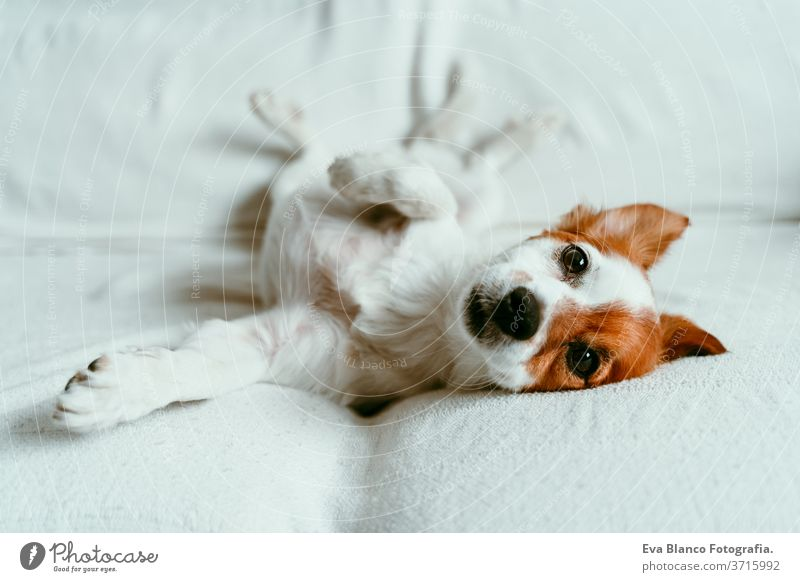 cute jack russell dog lying on sofa, resting and relaxing. Pets indoors bed home sleeping tired lying back portrait adorable autumn white pet lovely domestic