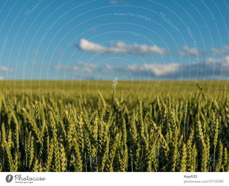 wheat field Wheat Wheatfield grain Cornfield Grain Field Agriculture Summer Nature Grain field Ear of corn Agricultural crop Nutrition Growth Plant