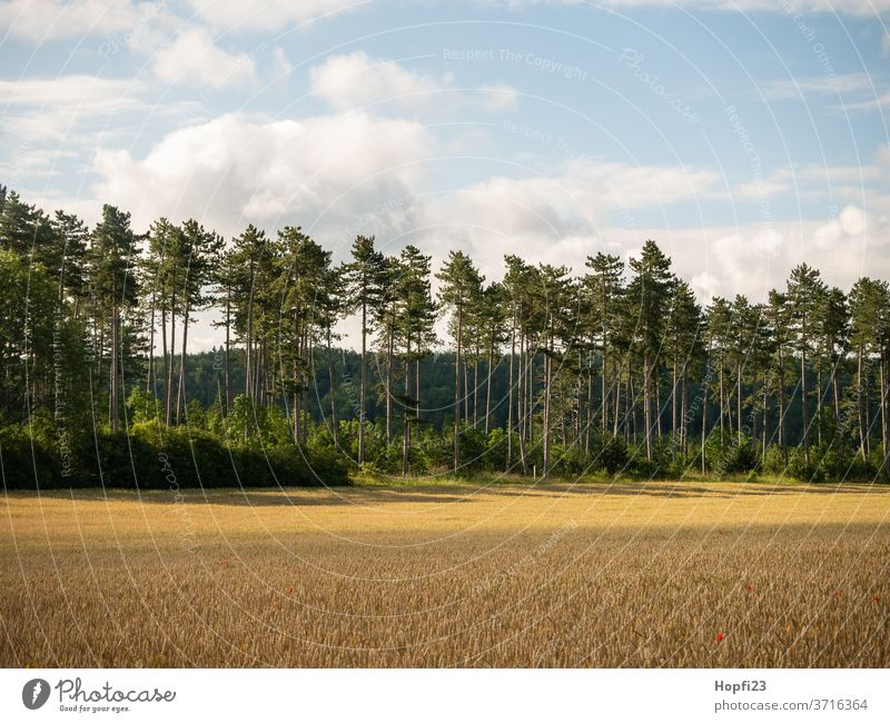 Pine forest tree Summer Sun sunshine green Sky Blue Cloudless sky great Old Nature Exterior shot Landscape Colour photo Deserted Day Plant Environment