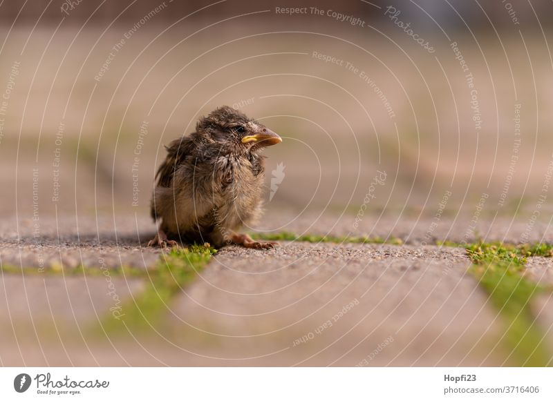 Baby Sparrow sparrow Small birds fledglings Animal Exterior shot Colour photo Day 1 Deserted Brown Animal portrait Nature Wild animal Shallow depth of field